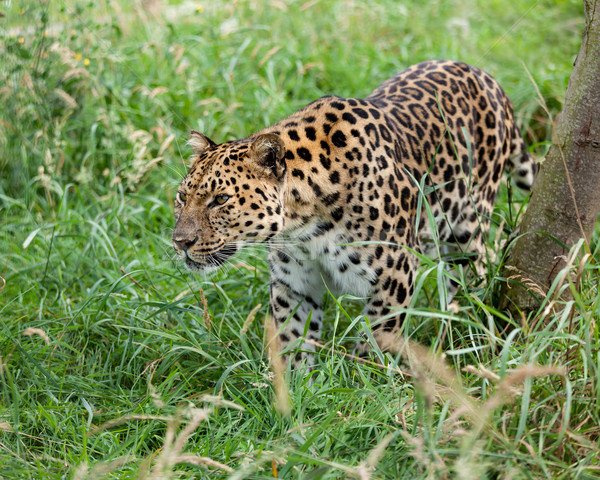 Amur Leopard Prowling through Long Grass Stock photo © scheriton