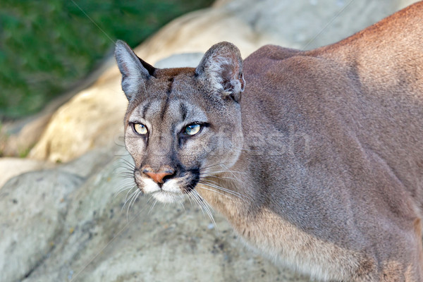 Head Shot of Beautiful Puma in Afternoon Sun Stock photo © scheriton