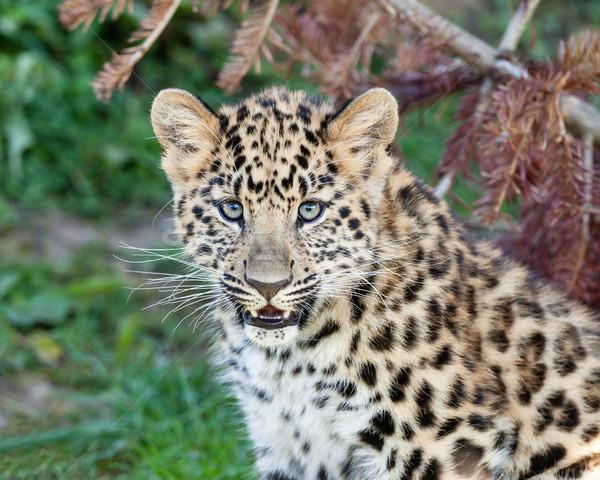 Portrait of Cute Baby Amur Leopard Cub Stock photo © scheriton
