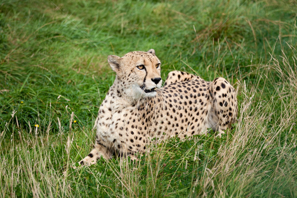 Cheetah Lying Down in Long Grass Stock photo © scheriton