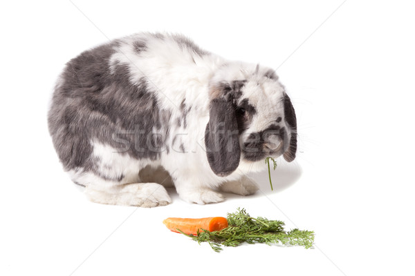 Cute Grey and White Bunny Rabbit Facing Right Eating Carrot On White Stock photo © scheriton