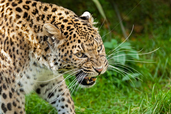 Snarling Angry North Chinese Leopard Large Whiskers Stock photo © scheriton