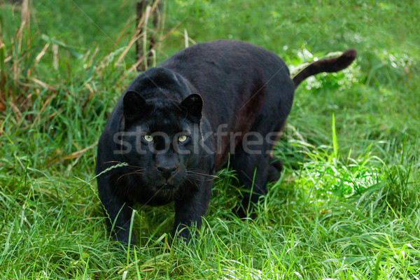 Black Leopard Hunting in the Long Grass Stock photo © scheriton