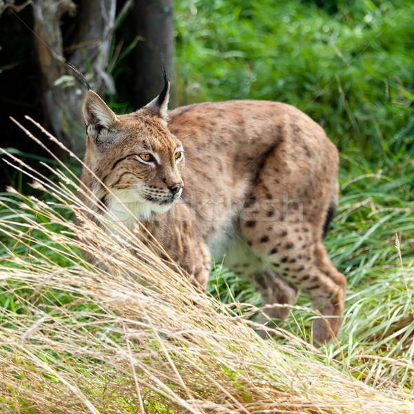 Eurasian Lynx Prowling through Long Grass Stock photo © scheriton