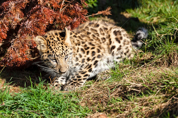 Aranyos baba leopárd medvebocs guggol bokor Stock fotó © scheriton