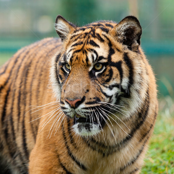 Head Shot of Beautiful Sumatran Tiger Stock photo © scheriton