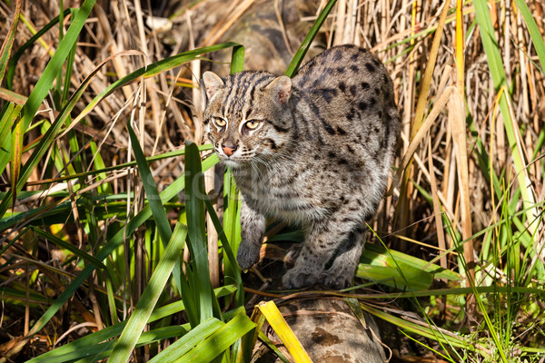 Fishing Cat Hunting in Long Grass Stock photo © scheriton