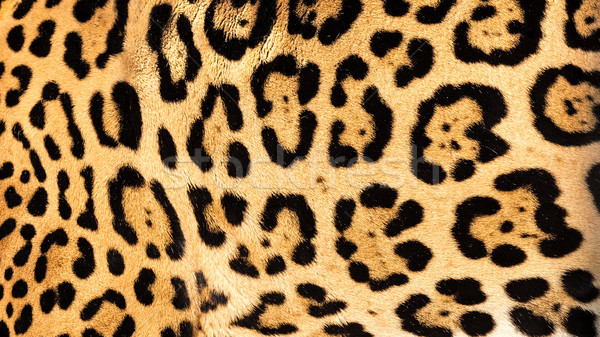 Real Live Jaguar Skin Fur Texture Background Stock photo © scheriton