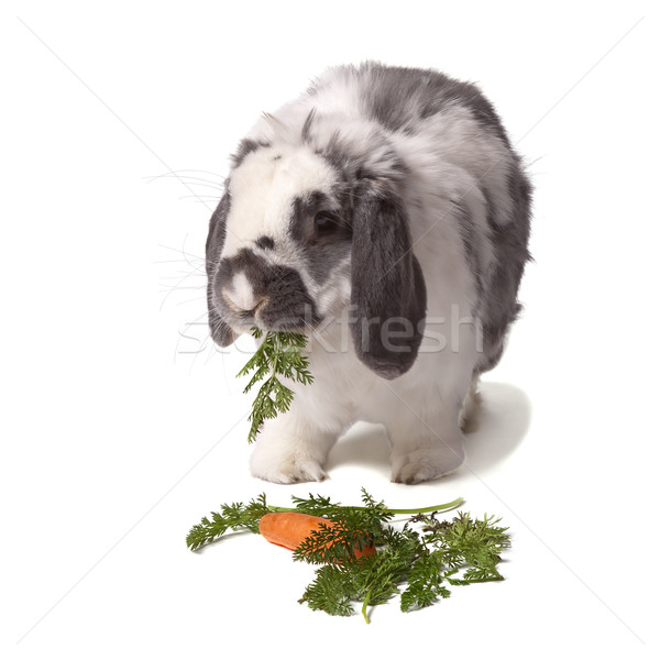 Cute Grey and White Rabbit eating Carrot and Greens Stock photo © scheriton