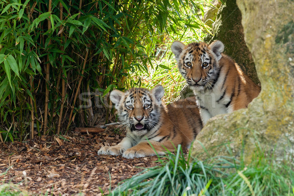Kettő imádnivaló tigris rejtőzködik menedék természet Stock fotó © scheriton