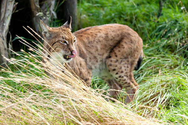 Eurasian Lynx Standing in Long Grass Licking Nose Stock photo © scheriton