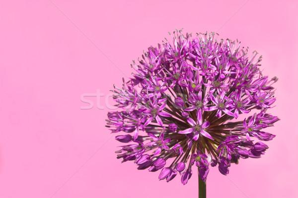 Purple Budding Allium Flower Stock photo © scheriton