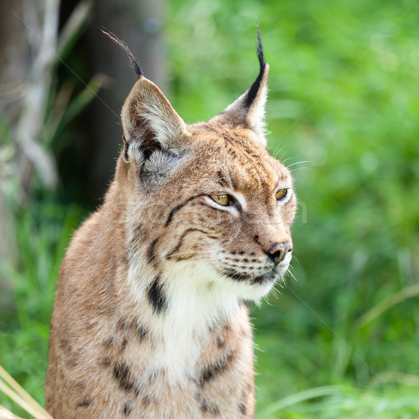 Head Shot Portait of Eurasian Lynx against Greenery Stock photo © scheriton