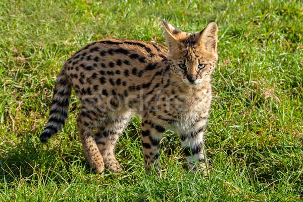 Cute Serval Kitten Standing on Grass Stock photo © scheriton