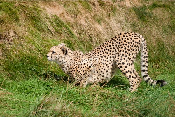 Cheetah hurken gras klaar snelheid mooie Stockfoto © scheriton