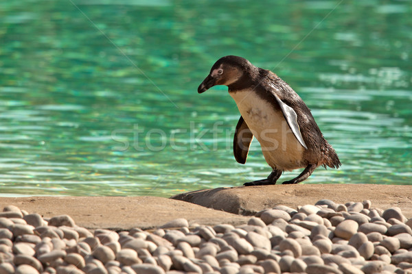 Humboldt Penguin Waddling Beside Green Water Stock photo © scheriton