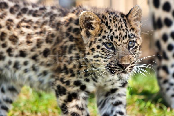 Közelkép aranyos baba leopárd medvebocs természet Stock fotó © scheriton