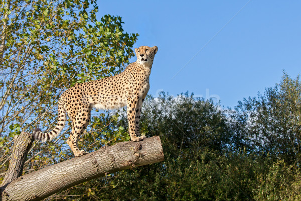 Cheetah Standing on Tree Branch with Copy Space Stock photo © scheriton