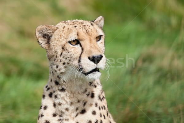 Portrait belle curieux guépard chat vert Photo stock © scheriton