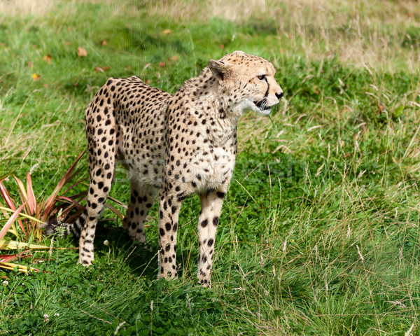 Side View of Cheetah in Long Grass Stock photo © scheriton