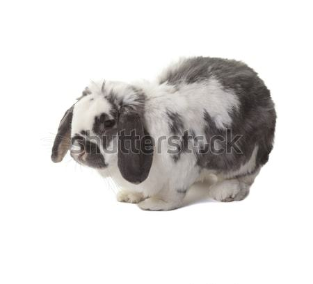 Cute Grey and White Bunny Rabbit Standing Facing Left On White Stock photo © scheriton