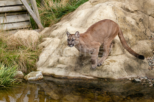 Puma Crouching About to Jump off Rock Stock photo © scheriton