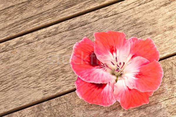 Pink Geranium Flower on Wood Background Stock photo © scheriton