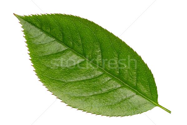 Fresche verde vibrante foglia isolato bianco Foto d'archivio © scheriton