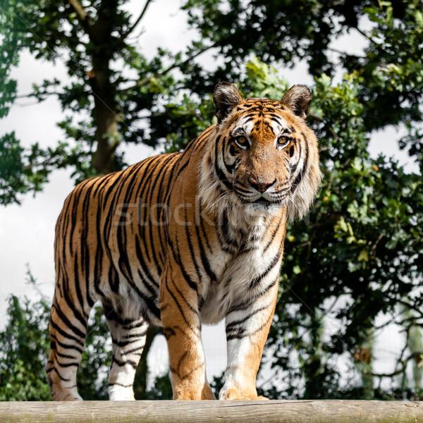 érett bengáli tigris áll fából készült vágány Stock fotó © scheriton