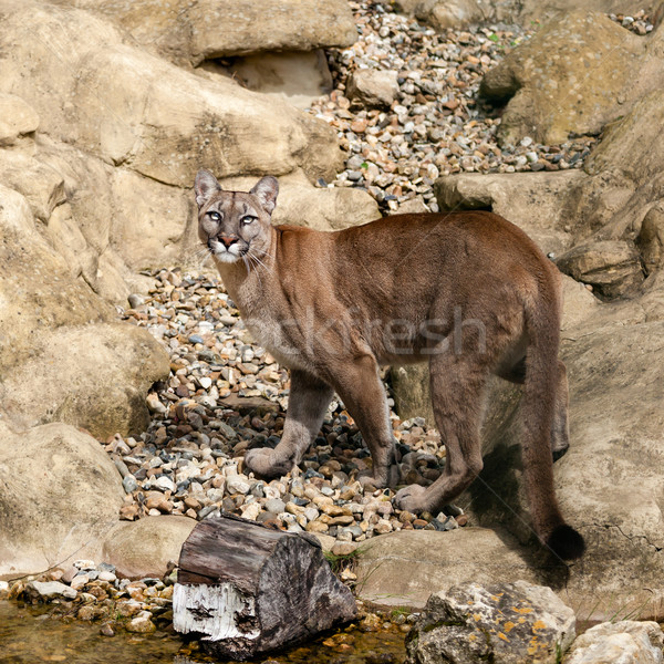 Puma Camouflaged on Rocks Looking Up Stock photo © scheriton
