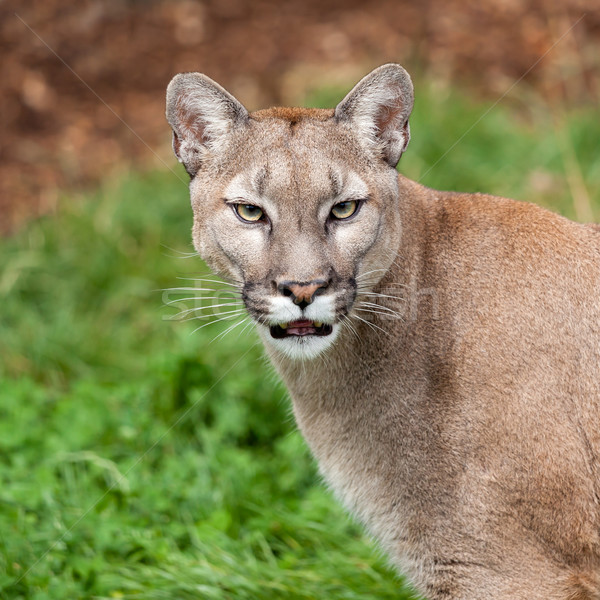 Head Shot Portrait of Beautiful Puma Stock photo © scheriton