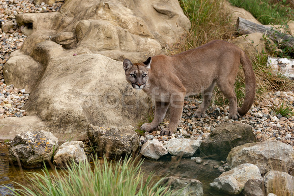 Puma Standing Staring on Rocks Stock photo © scheriton