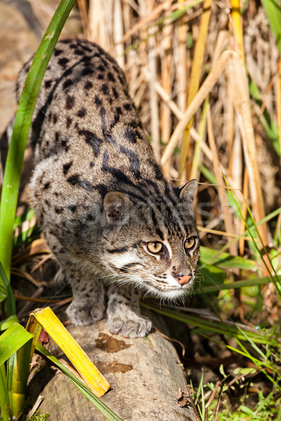 Fishing Cat Stalking through Long Grass Stock photo © scheriton