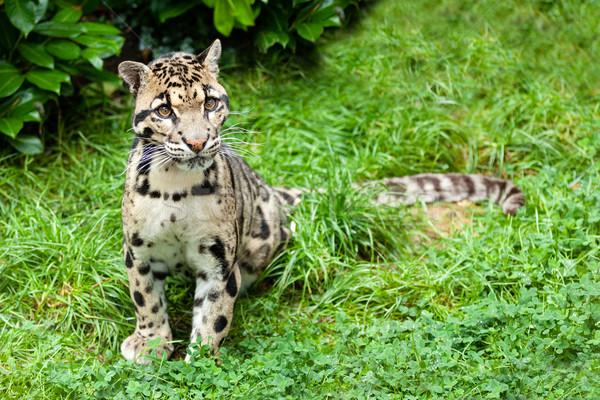 Bengalglitz F2 Bengal Female  Clouded Leopard Pattern