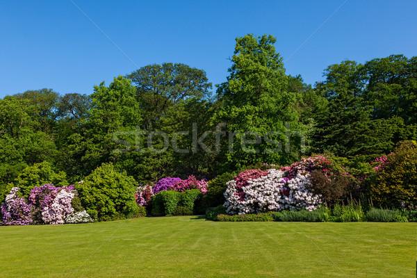 Rhododendron Azalea Bushes and Trees in Beautiful Summer Garden Stock photo © scheriton