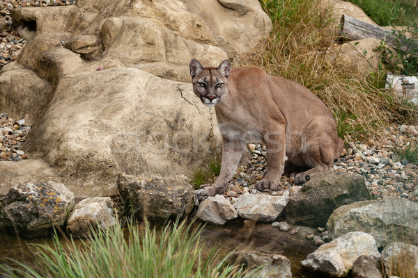 Puma Sitting on Rocks Stock photo © scheriton