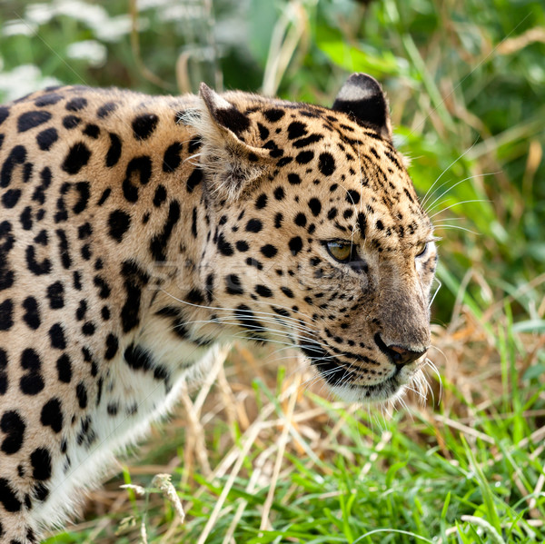 Portrait Head Shot of Adult Amur Leopard Stock photo © scheriton