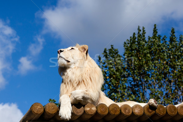 White Lion on Wooden Platform Looking Up at Blue Sky Stock photo © scheriton