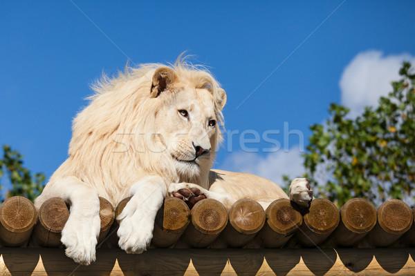Fehér oroszlán fából készült vágány napsütés égbolt Stock fotó © scheriton
