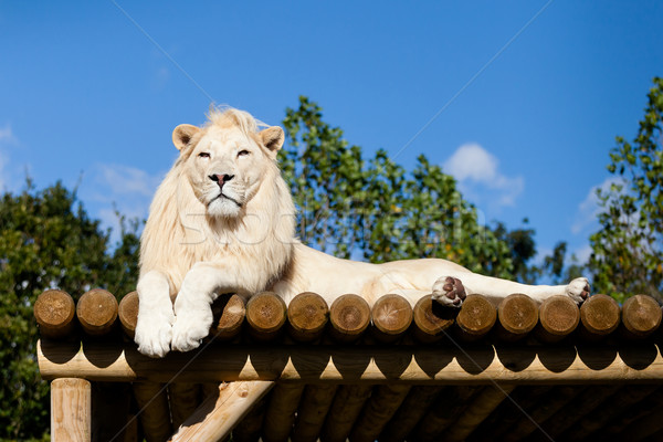 Stock photo: White Lion lying on Wooden Platform in the Sunshine