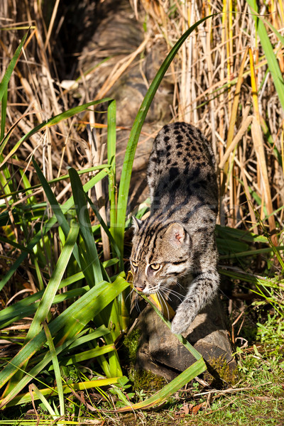 Fishing Cat Sneaking through Long Grass Stock photo © scheriton