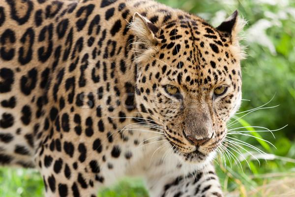 Cabeça tiro leopardo natureza ambiente forte Foto stock © scheriton
