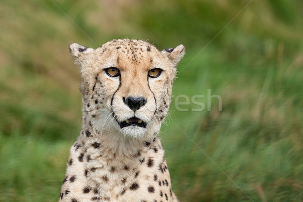 Head Shot Portrait of Beautiful Cheetah Stock photo © scheriton
