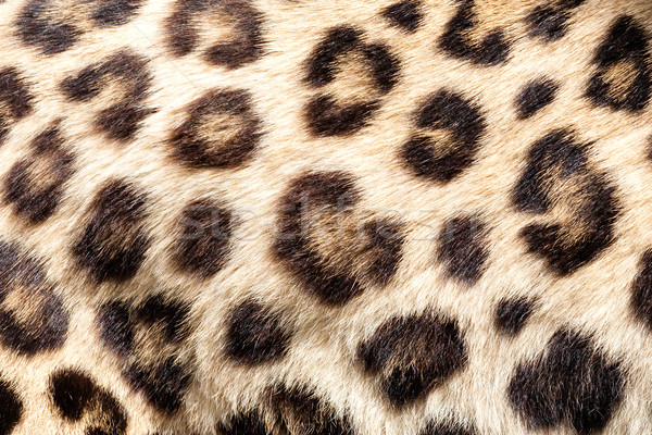 Real Live Leopard Fur Skin Texture Background Stock photo © scheriton