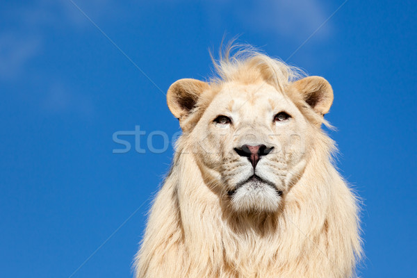 Head Portrait of Majestic White Lion on Blue Sky Stock photo © scheriton