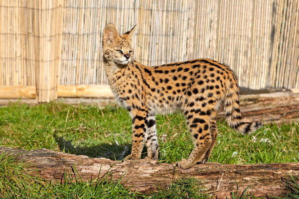 Serval Kitten Standing on Log in Sunshine Stock photo © scheriton