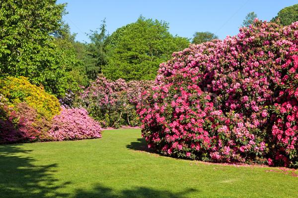 Rhododendron and Azalea Bushes in Beautiful Summer Garden Stock photo © scheriton