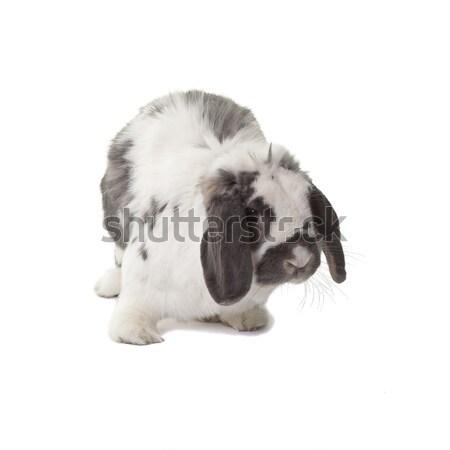 Cute Grey and White Bunny Rabbit Standing Facing Right On White Stock photo © scheriton
