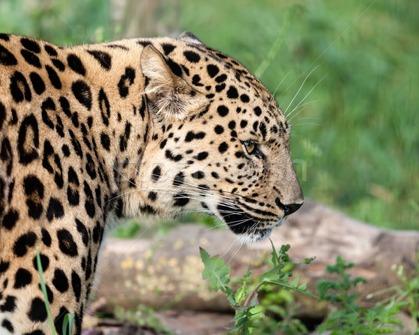 Side View Head Shot of Beautiful Amur Leopard Stock photo © scheriton