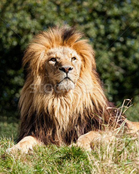 Fier majestueux lion séance herbe nature Photo stock © scheriton